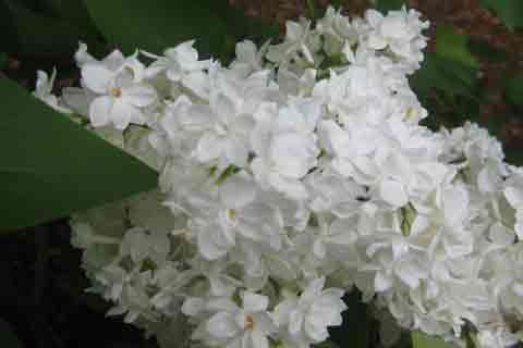 White Lilac Tree Blossoms Picture, Pictures of  Lilac Trees
