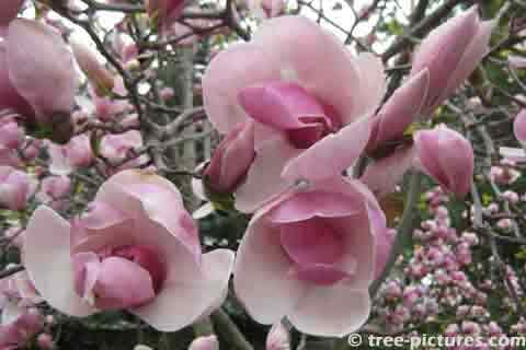 Pink Magnolia Tree Blossoms