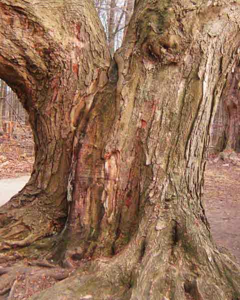 tree park maple - photo #44
