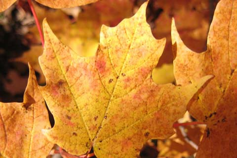 Maple Tree Leaf Picture