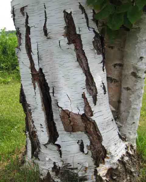 Birch Tree: Picture, Image, Photo Birch Bark Different Types Of Tree Bark