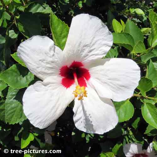 Hibiscus Pictures, Large White Hibiscus Flower with Red Center