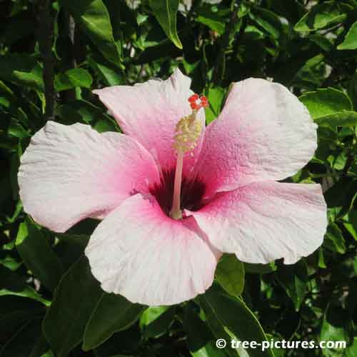 Hibiscus Pictures, Pink HibiscusTree Flower Pic