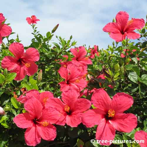 Hibiscus Pictures, Photo of Red Hibiscus Tree Flowers