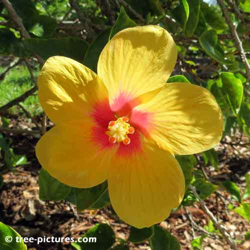 Hibiscus Pictures, Bright Yellow Hibiscus Tree Flower with Red Center