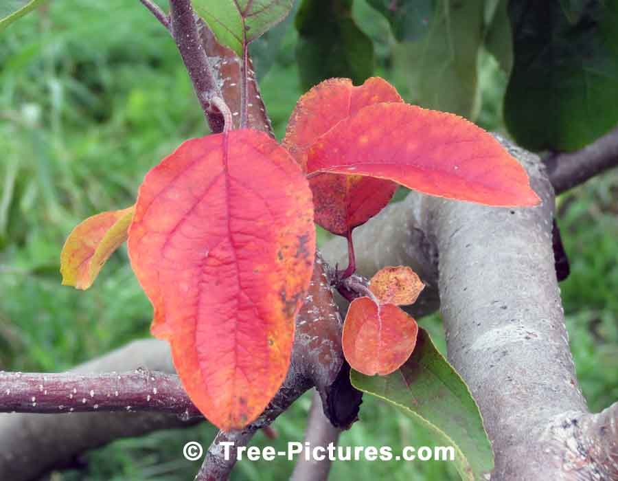 Apple Tree Pictures: Images, Photos of Apple Trees