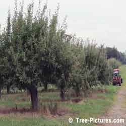 Pictures of Apple Trees: Apple Tree Fruit, Ripening Apple Trees Fruit