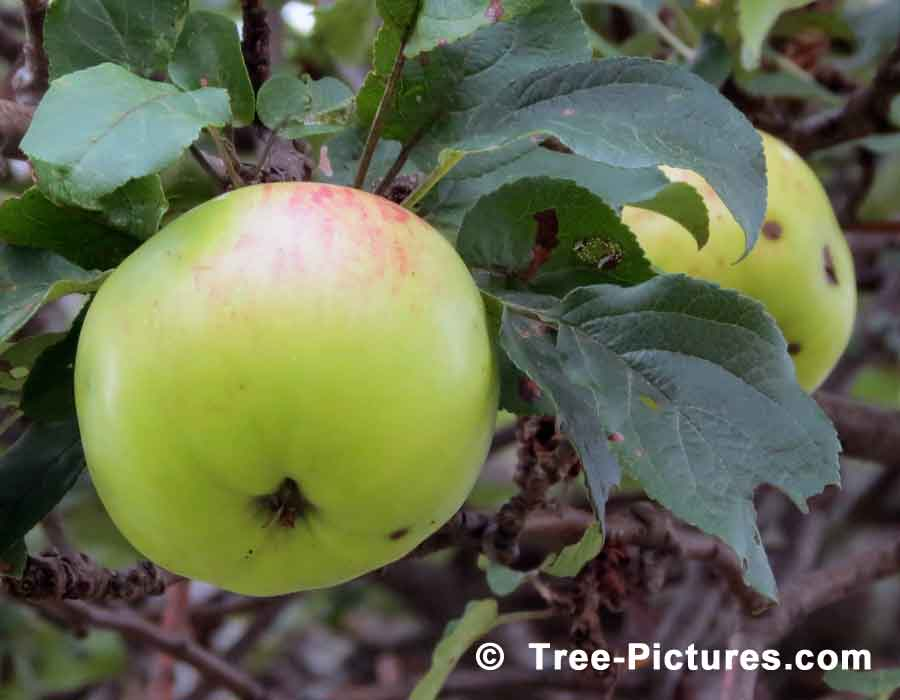 Apples Ripening on an Apple Tree in the Garden | Apples Trees at Tree-Pictures.com