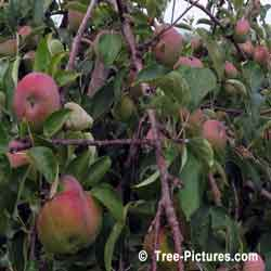 Apples Tree Fruit, Ripping Orchard Apple Trees Fruit