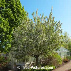 Crab Apples: Crab Apple Tree Landscaping