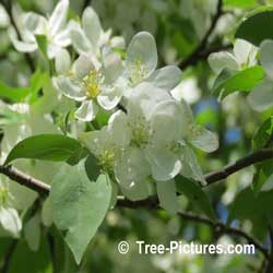 Crab Apples: Fruit and Leaf of the Crab Apple Tree