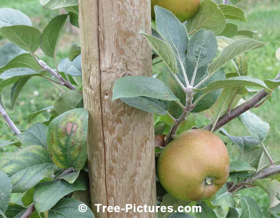 Apples: Russet Apples, Alternate Names Rusticoat, Russeting Leathercoat Apple | Apple Trees at Tree-Pictures.com