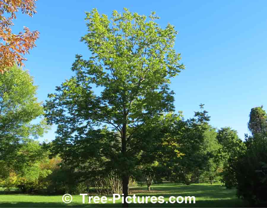 Ash Tree Identification: Black Ash Tree Species | Ash Trees at Tree-Pictures.com