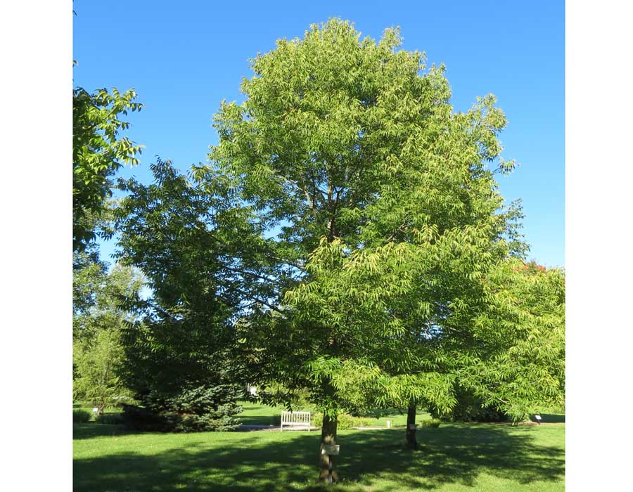 Blue Ash: Rare Species of Ash Tree | Ash Trees at Tree-Pictures.com