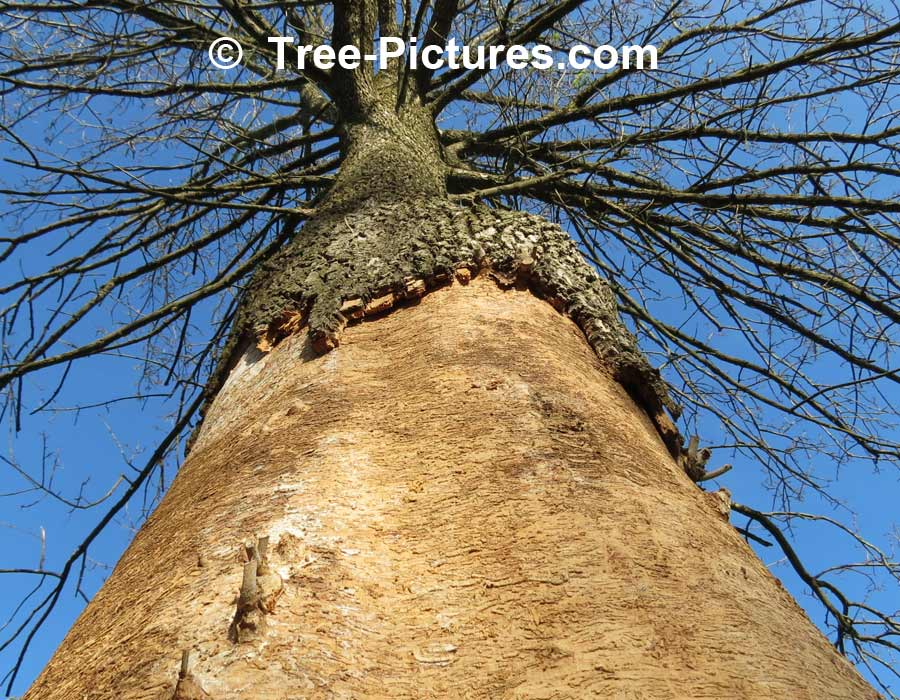 Ash Disease: EAB, Emerald Ash Borer Kills Ashes | Ash Trees at Tree-Pictures.com