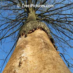 Tree Service: Ash Disease: EAB, Emerald Ash Borer can Kill an Ash Tree in a year. Tree Service Treatments at the base of the tree are available, on the expensive side ar $ 150+ per tree. Service treatments need to be annual for best EBA protection