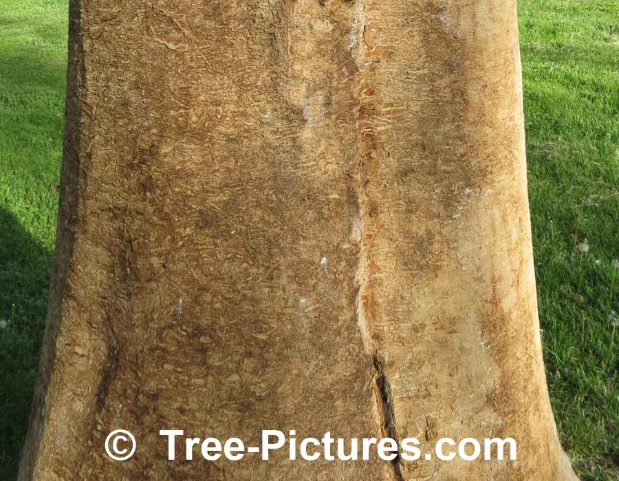 Ash Tree: Disease Caused By Emerald Ash Borer (EAB) Kills Ash Trees | Ash Trees at Tree-Pictures.com