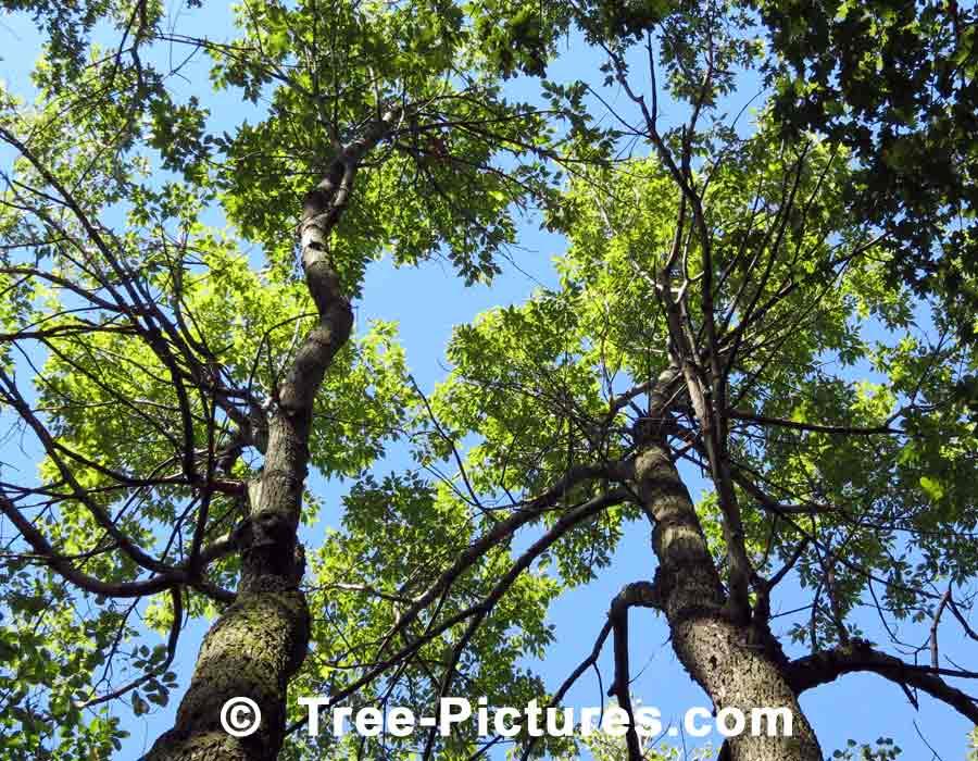 White Ash Trees