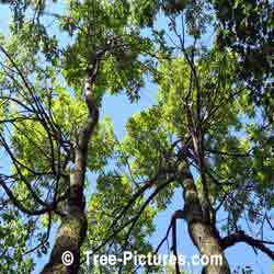 White Ash: Tall White Ash Trees in the Forest | Tree:Ash+White at Tree-Pictures.com
