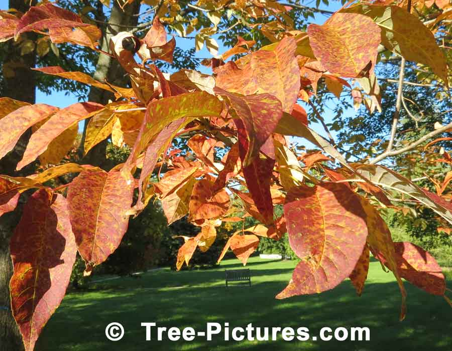 White Ash: White Ash Tree with Yellow Orange Autumn Leaves | Ash Trees at Tree-Pictures.com
