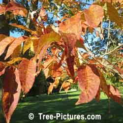 White ash white ash tree with yellow orange autumn leaves tree ash