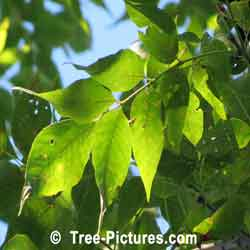 White Ash: White Ash Tree Leaves | Tree:Ash+White+Leaves at Tree-Pictures.com