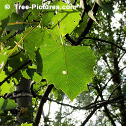 Pictures of Aspen Trees: Big Tooth Trembling Type Aspen Leaf (Populus grandidentata) Leaves | Tree:Aspen+Trembling+BigTooth at Tree-Pictures.com