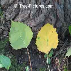 Pictures of Aspen Trees: Fall Picture of Big Tooth Trembling Aspen (Populus grandidentata)Tree's Leaf Leaves | Tree:Aspen+Trembling+BigTooth at Tree-Pictures.com