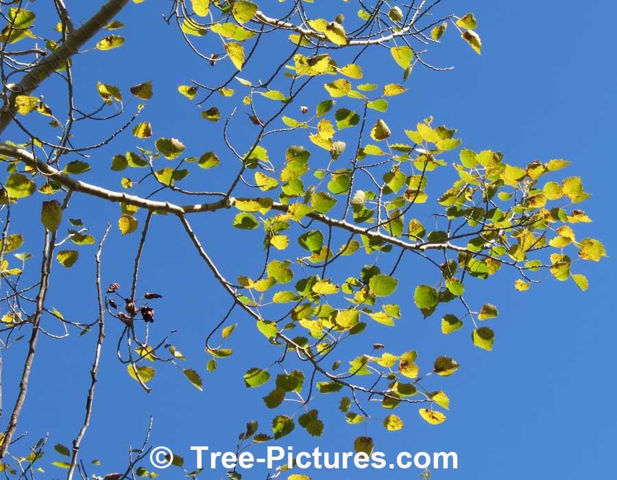 Aspen Trembling Aspen Leaves Against An Azure Blue Sky Aspen Trees Tree