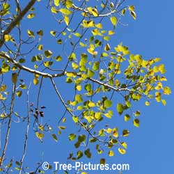 Aspen Tree Pictures: Trembling Aspen Leaves Against An Azure Blue Sky at Tree-Pictures.com