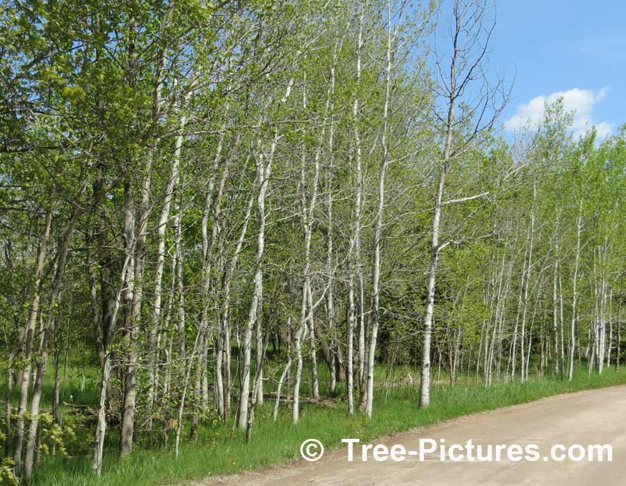 Aspen: Stand of Trembling Aspen Trees | Aspen Trees at Tree-Pictures.com