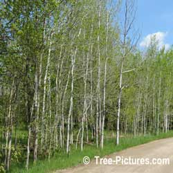 Pictures of Aspen Trees; Stand of Trembling Aspen Trees Photo. The Aspen Tree multiplies by it roots suckering out and creating new Aspen trees. This is why Aspen Trees are found in Stands or large Aspen tree clusters. | Tree:Aspen+Trembling  Tree-Pictures.com