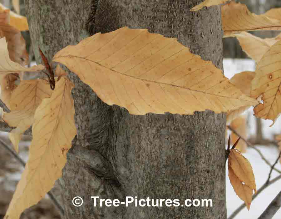 Beech Trees: American Species of Beech Leaf In Early Spring