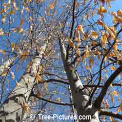 Beech Trees: American Species of Beeches, Growing in Forest with Leaves Still On In Early Spring