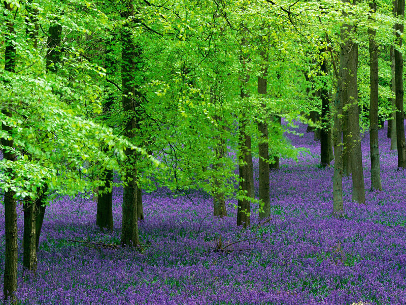Tree Pictures, Colorful Blue Bells Image in Beech Tree Forest