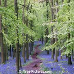Beech Tree, Beech Forest with Blue Bells in Spring, North London, UK
