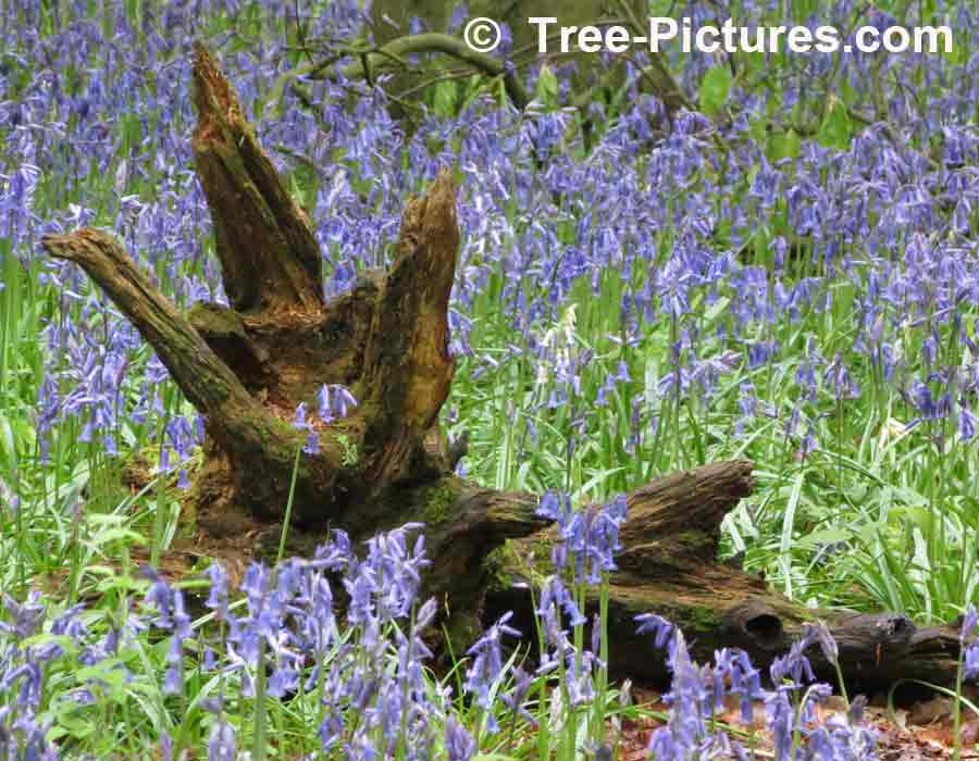 Bluebell Common Woodland Flower In The Uk