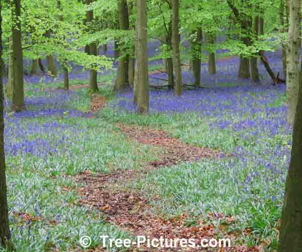 Bluebell: Bluebell Carpet Under The Beech Trees