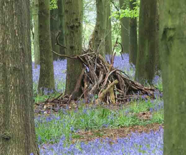 Bluebell: Beech Trees And Bluebells
