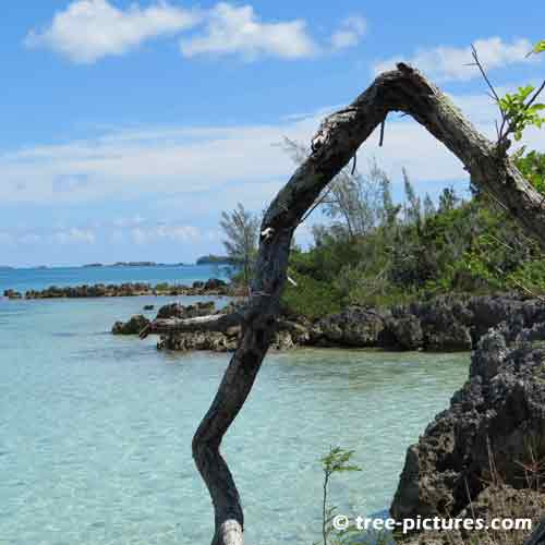 Bermuda Tree Pictures, Old Broken Tree Limb Photograph