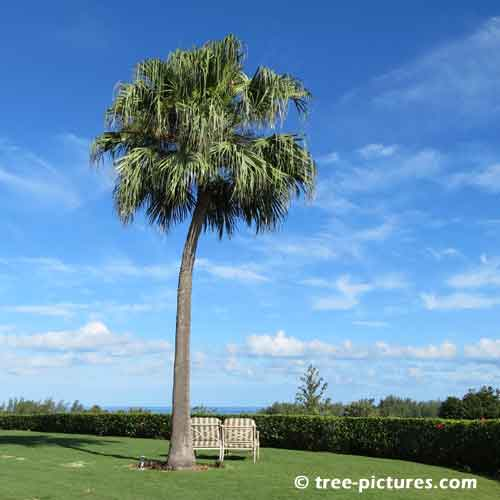 Bermuda Tree Pictures, Giant Palm Tree Overlooking the Ocean Photo