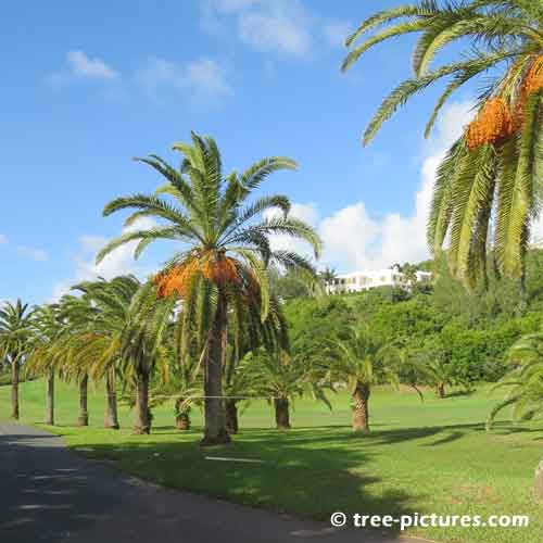 Bermuda Tree Pictures, Impressive Palm Trees Along the Road Pic
