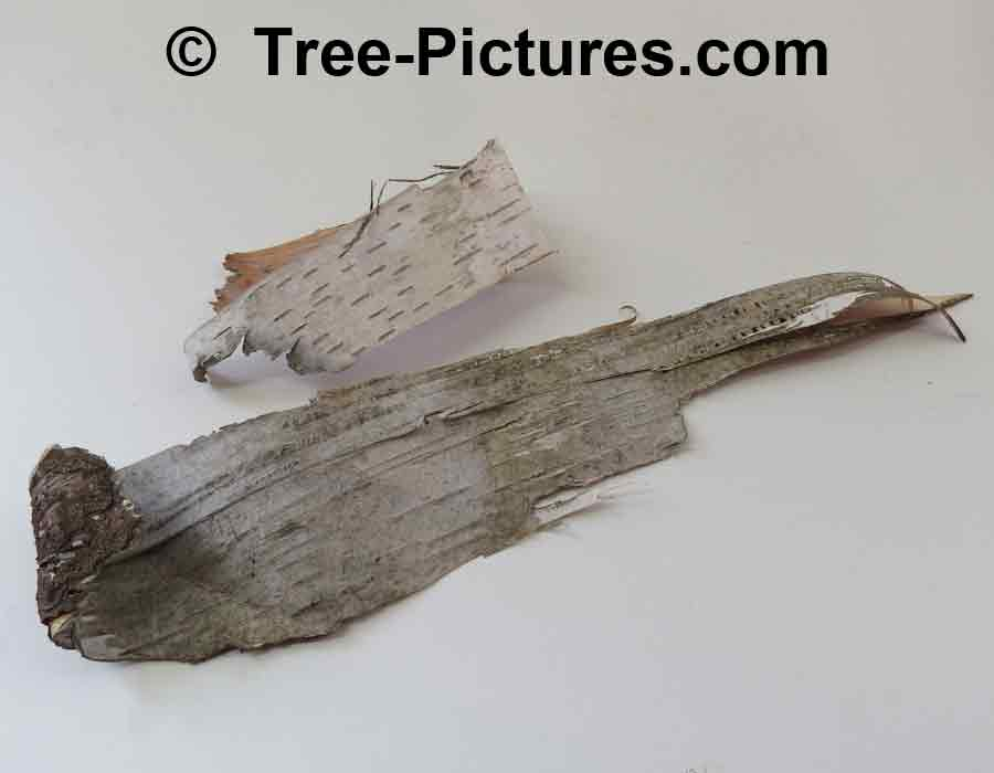 Paper Birch Bark: Sample of White Birch Bark Fallen off the Tree | Trees:Birch:Paper:Bark at Tree-Pictures.com