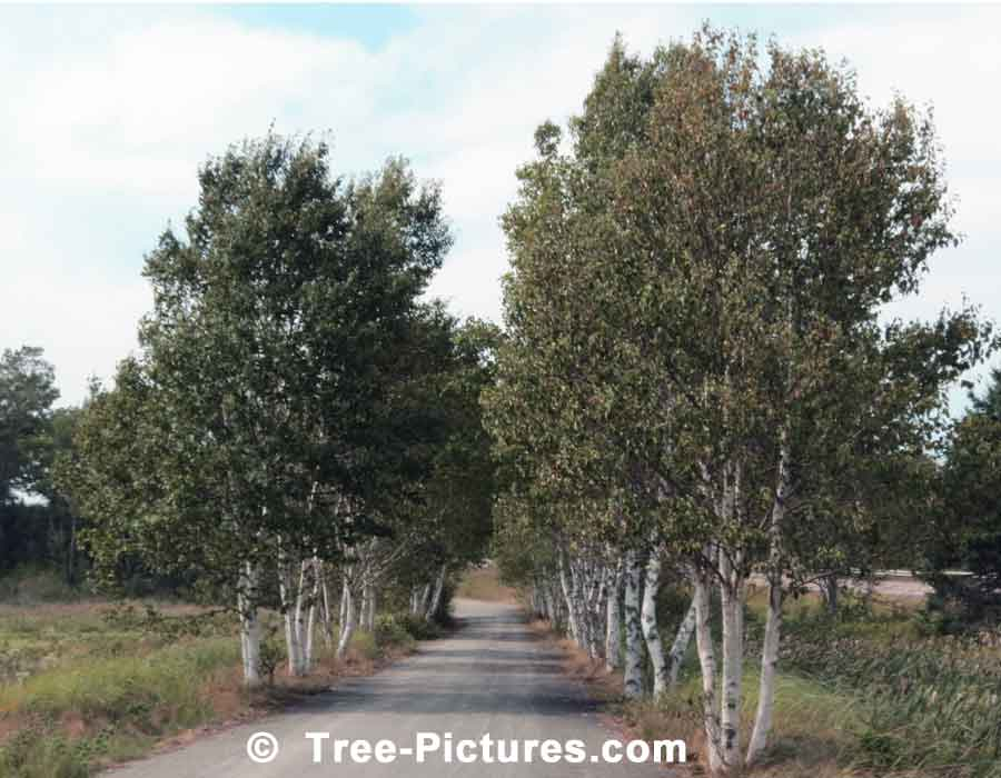 Birch Tree, Lane of Birch Trees on Abandoned Covered Bridge Road, New Brunswick | Trees:Birch+Lane at Tree-Pictures.com