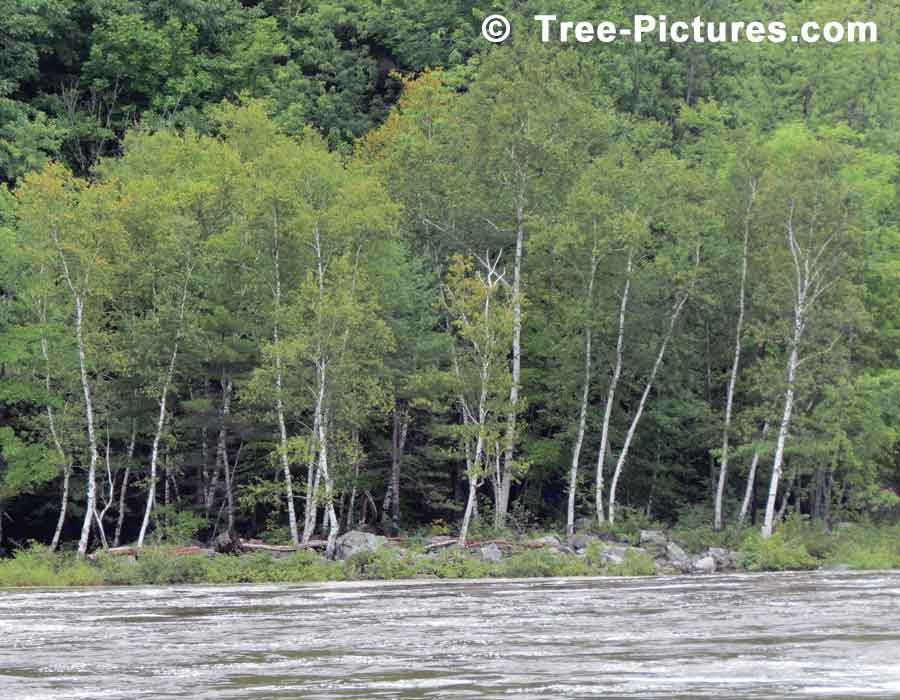 Birch Tree, Grove of Birch Trees on the Flooded River | Trees:Birch at Tree-Pictures.com