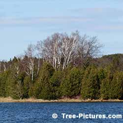 Cedar Tree Pictures: Group of Cedars Growing by the Lake