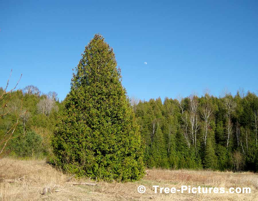 Cedar Tree Pictures