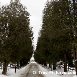 Cedar Trees, Driveway Lined with Cedar Trees