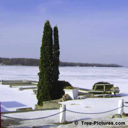 Cedar Tree Pictures; 2 Cedar Trees by the Waters Edge