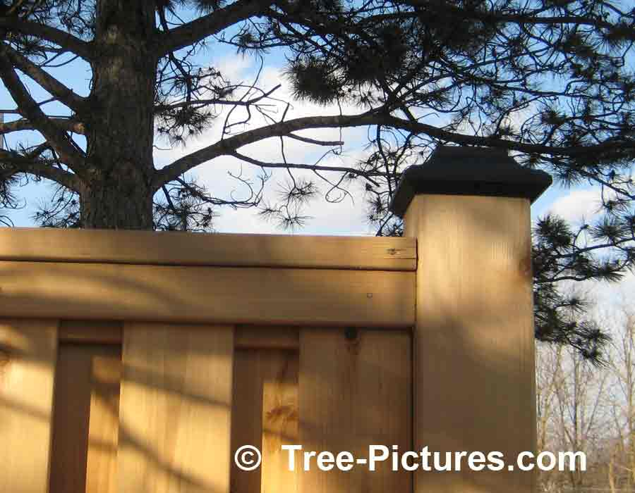 Cedar Fence: Cedar Wood is Weather Resistant for Privacy Fencing